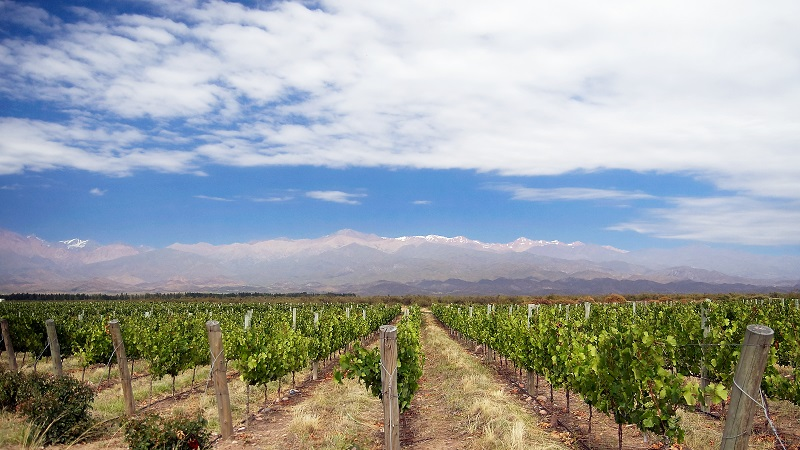 Vineyard_in_Mendoza_Argentina