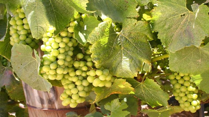 Chardonney Grapes Summer Wolff 0008 XT 20050703 640x480 landscape
