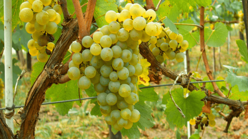 Muscat-Ottonel-Grape-Type