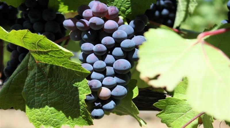 Pinot_Noir_Grape_Vine