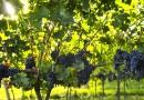 Зошто не се јаде грозје пред Преображение