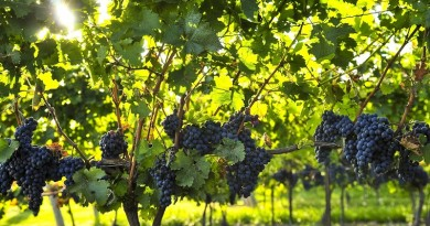 Purple grapes growing on vine in bright sunshine