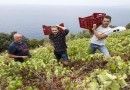 Французи берат грозје и уживаат на хрватската ривиера