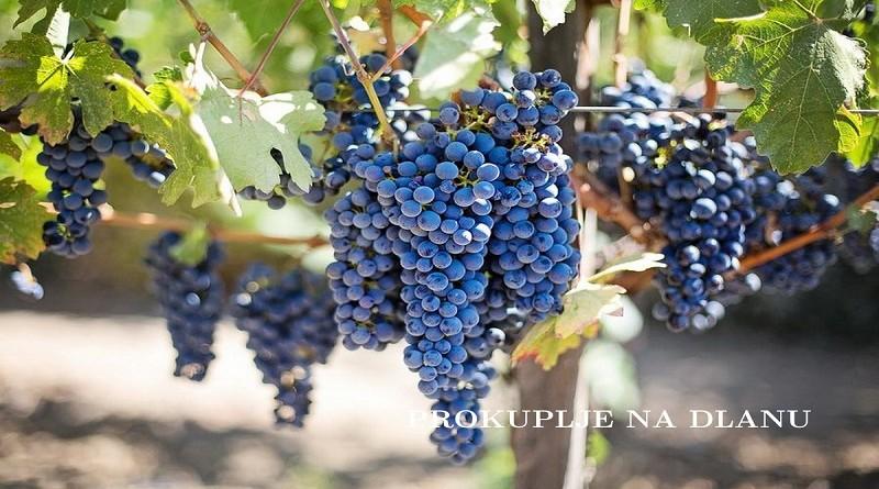 grozdje_prokupac