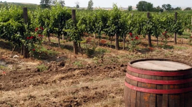 wine-field-mkd
