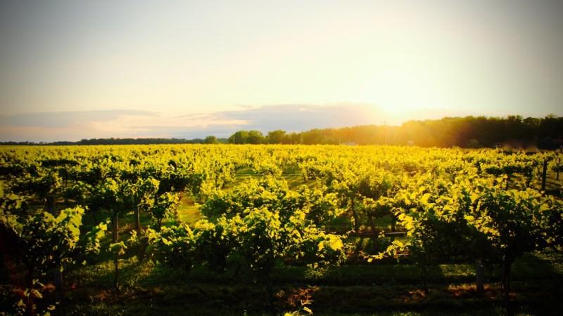 vineyard+sunset+2